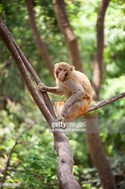 Rhesus macaque sitting in a tree in Lushan mountain - Xichang - China
