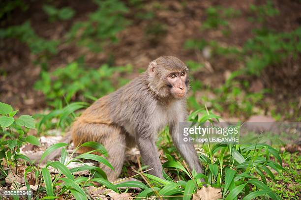 Rhesus macaque sitting in the forest of Lushan mountain - Xichang - China