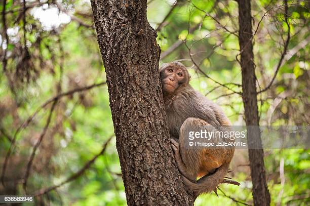 Rhesus macaque sitting on a branch in Lushan mountain - Xichang - China