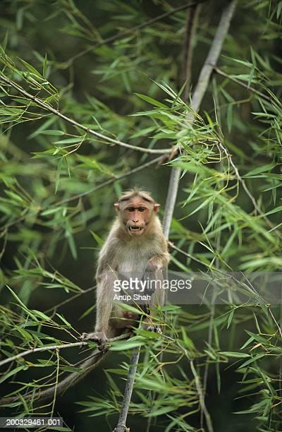 Rhesus macaque (Macaca mulatta) sitting on twigs, Bandipur, India