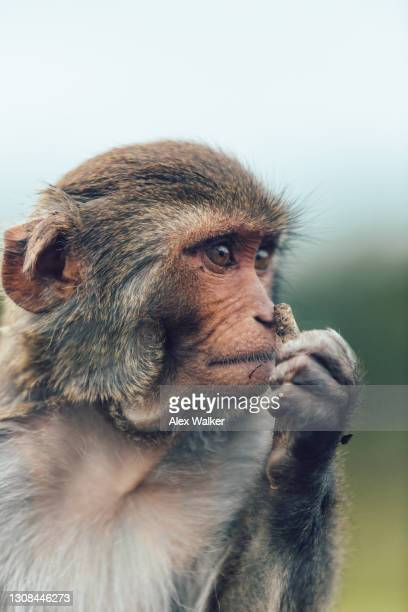 rhesus macaque smelling food. - animal eye stock pictures, royalty-free photos & images