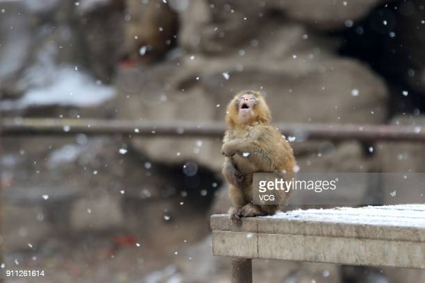 A rhesus monkey looks at the snow at Zhengzhou Zoo on January 27 2018 in Zhengzhou Henan Province of China