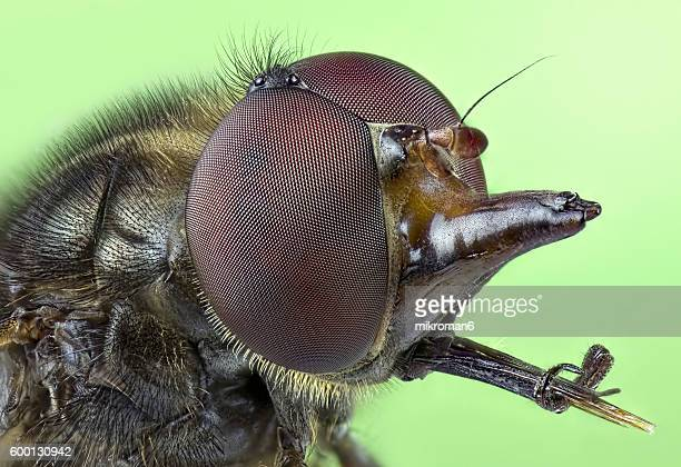 Rhingia campestris (Common Snout-hoverfly) close-up.