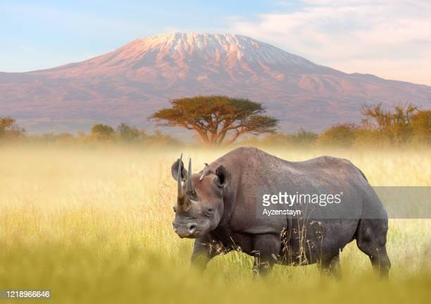 rhino and kilimanjaro - kenya stock pictures, royalty-free photos & images