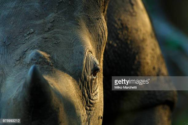 rhino at the sunset - swaziland stock pictures, royalty-free photos & images