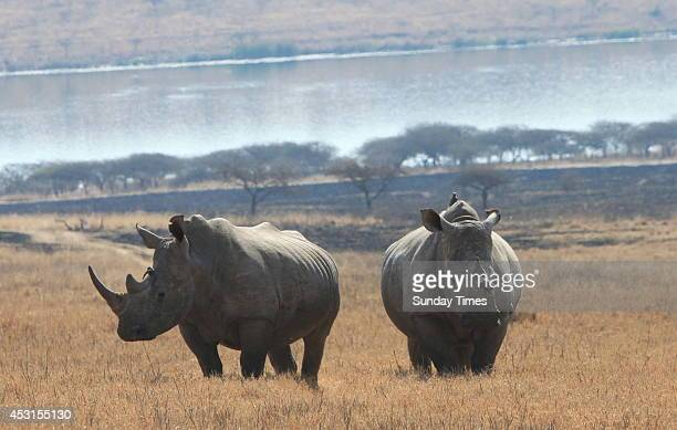 Rhino at the Tala Private Game Reserve on July 31 2014 in Pietermaritzburg South Africa VIP bodyuards have been assigned to fight off rhino poachers...