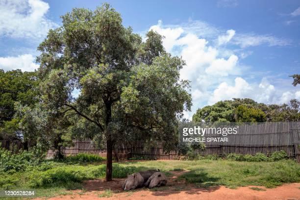 Rhino calves sleep under a tree at the Rhino Orphanage in an undisclosed location near Mokopane, Limpopo province, on January 9, 2021. Carefully...