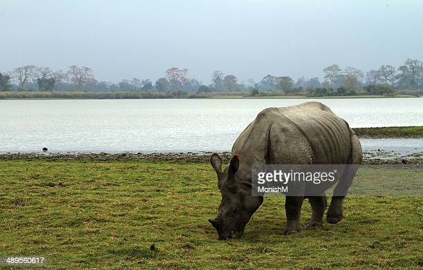 Rhino eating in forest landscape