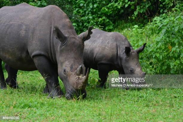 Rhino family grazing in the green bushy savannah