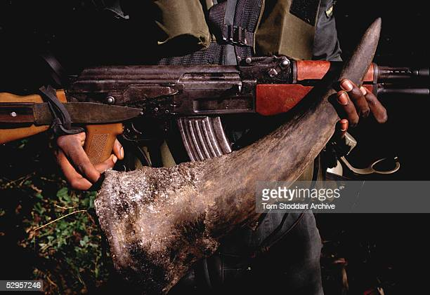 Rhino horn confiscated from poachers by National Park Rangers at Mana Pools, Zimbabwe.