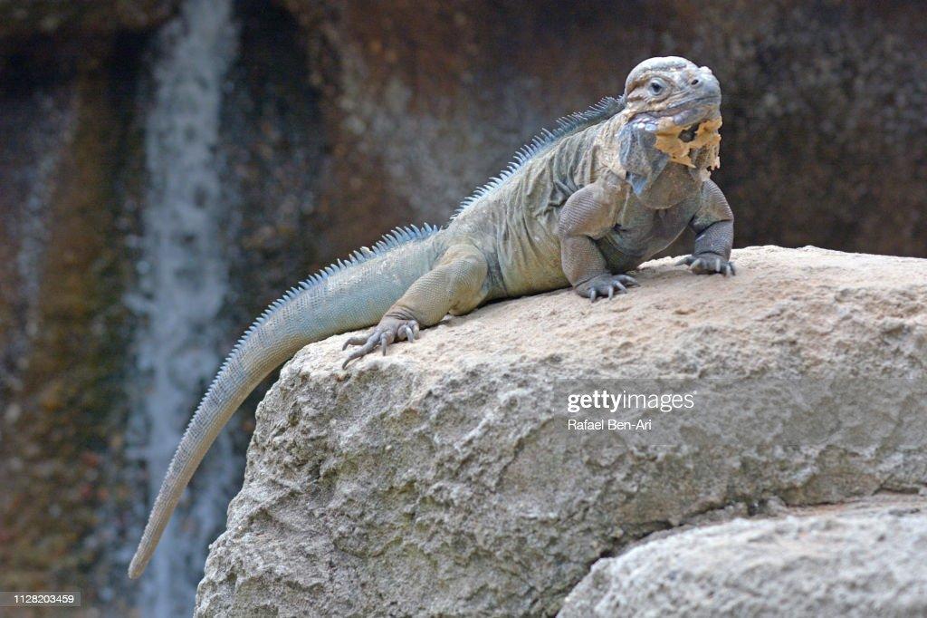 Rhino Iguana : Stock Photo
