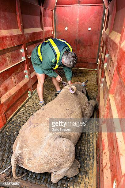 A rhino is loaded into a crate at Ithala Game Reserve on October 8 in Durban South Africa The Black Rhino Range Expansion Project is focused on the...