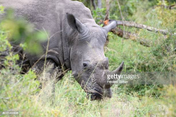 Rhino Kruger National Park on April 16 2017 in South Africa