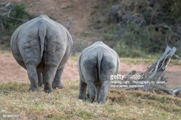 rhino mother and calf, grazing - big bums stock photos and pictures