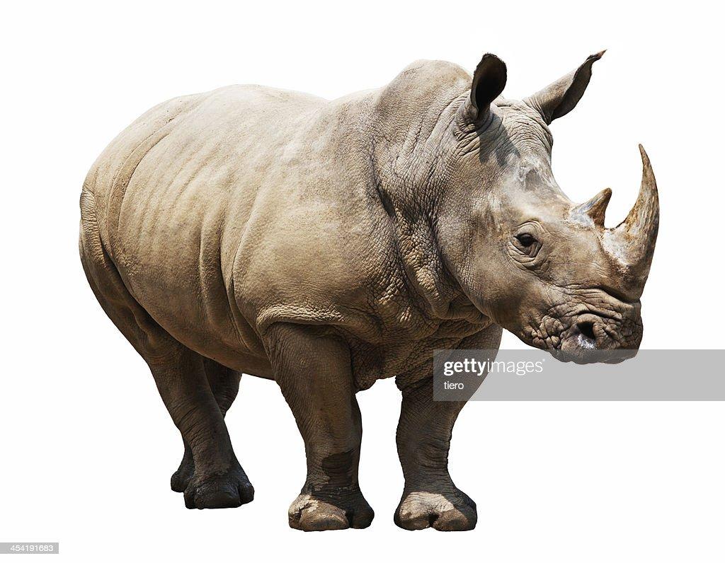 rhino on white background : Stock Photo