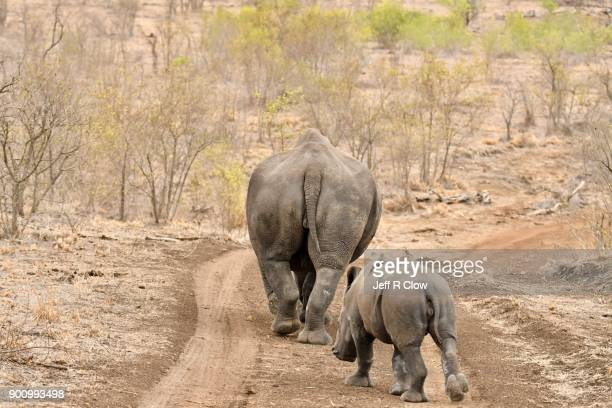 rhino pair leaving down the dirt road 3 - big arse stock pictures, royalty-free photos & images
