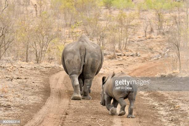 rhino pair leaving down the dirt road - big bums stock photos and pictures