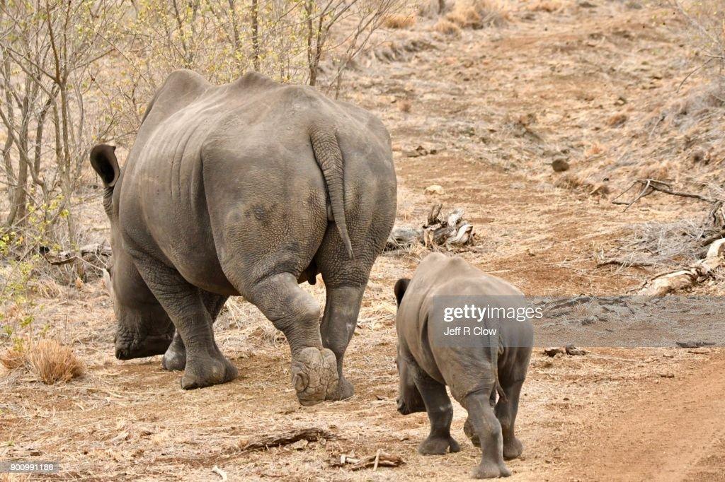 Rhino Pair Leaving : Stock Photo