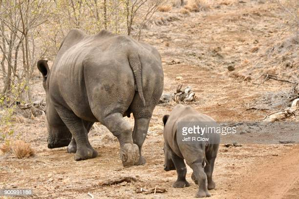 rhino pair leaving - big bums stock photos and pictures