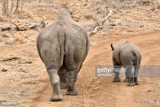 rhino pair leaving two - big bums stock photos and pictures