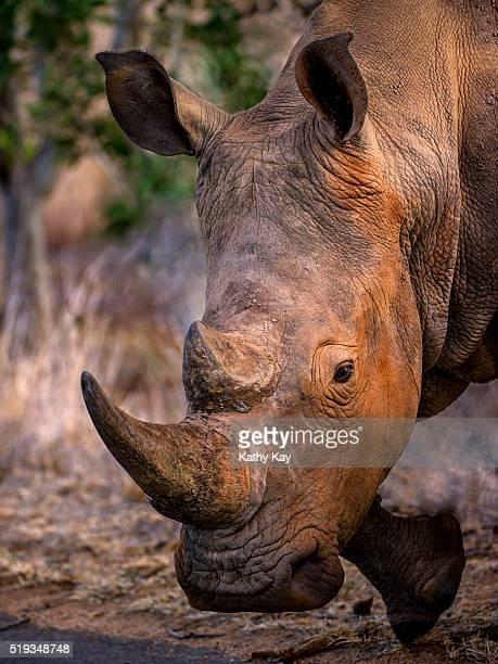 rhino - manly wilder stock-fotos und bilder