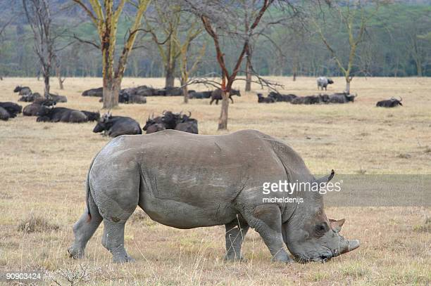 rinoceronte - oxen - fotografias e filmes do acervo