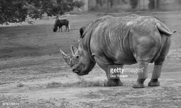 rhino - big arse stock pictures, royalty-free photos & images