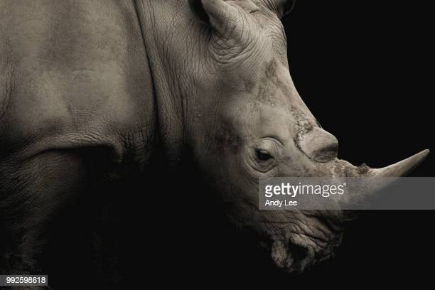 the rhino - endangered species stock pictures, royalty-free photos & images