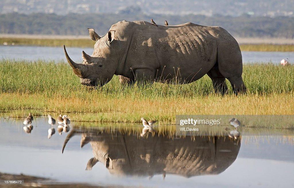 Rhino Reflection : Stock Photo