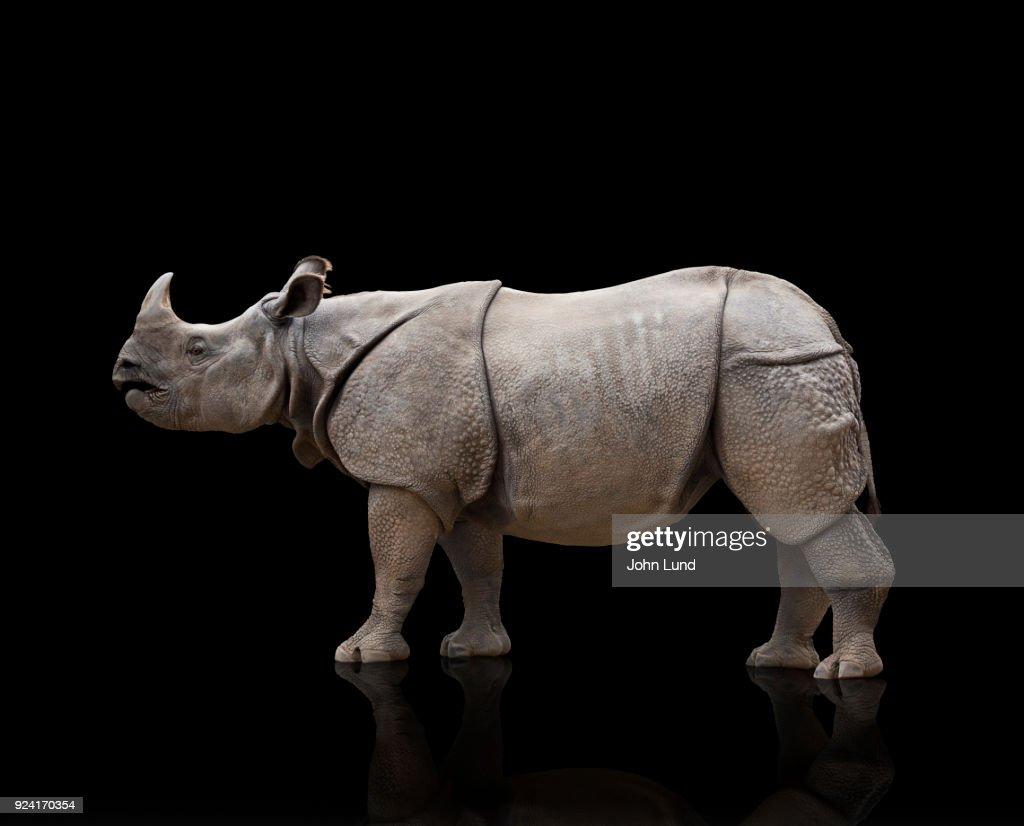 Rhino Studio Photo On Black : Stock Photo