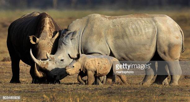 rhino with baby - rare stock pictures, royalty-free photos & images