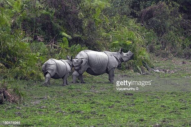 Rhino with young rhino