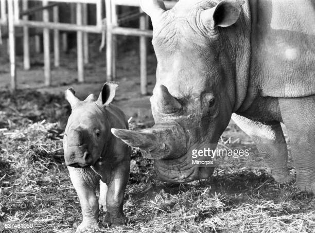 Rhinoceros 3 week old Dale with his mother at Whipsnade Zoo