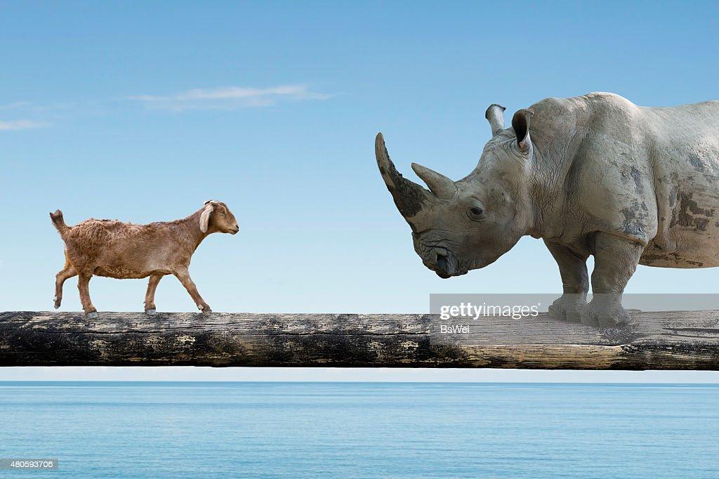 Rhinoceros and sheep walking over the single wooden bridge : Stock Photo