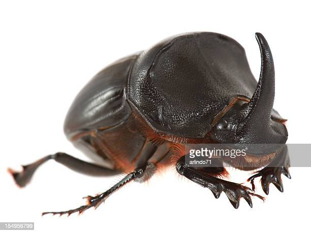 rhinoceros beetle isolated on white - horned beetle stock pictures, royalty-free photos & images