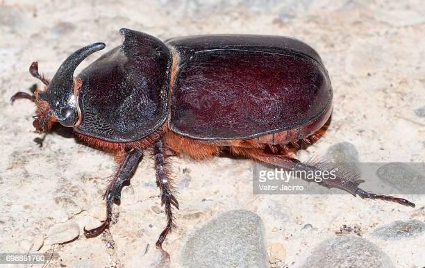 Rhinoceros Beetle (Oryctes nasicornis), male