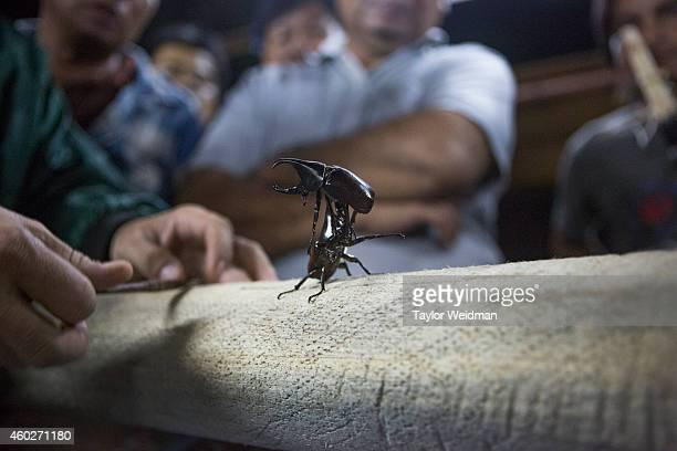 Rhinoceros Beetle uses its pincers to lift up a rival male during a fight in Hang Dong Thailand In northern Thailand gambling on Rhinoceros Beetle...