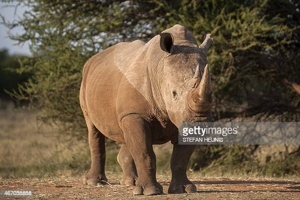 A rhinoceros bull stands in a farm near Vaalwater in the Limpopo Province on March 17 2015 Official statistics for 2014 show that a record number of...