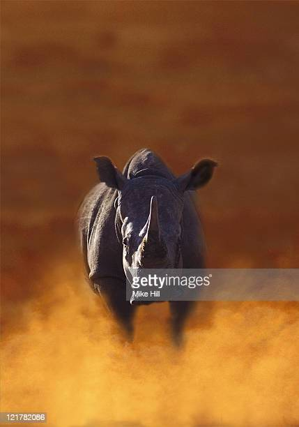 rhinoceros, charging - stampeding stock pictures, royalty-free photos & images