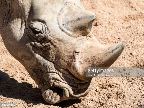 Rhinoceros close up, head.