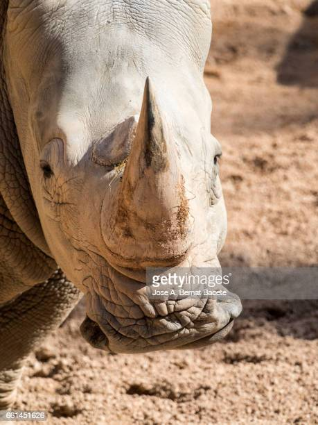 Rhinoceros close up