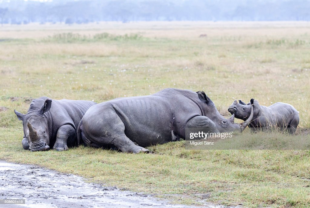 Rhinoceros family and baby sitting on grass : Foto de stock