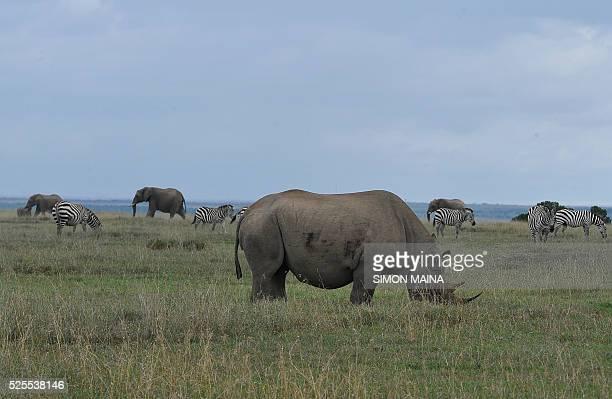 A rhinoceros grazes near zebras and elephants at the Ol Pejeta Sanctuary in Laikipia on April 28 2016 / AFP / SIMON MAINA
