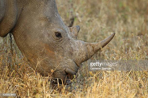 A rhinoceros grazes on July 20 2010 in the Edeni Game Reserve South Africa Edeni is a 21000 acre wilderness area with an abundance of game and...