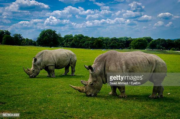 Rhinoceros Grazing On Field