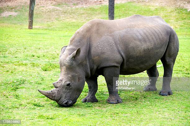 Rhinoceros Grazing