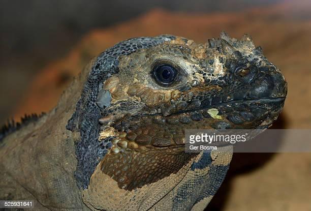 rhinoceros iguana portrait - iguana foto e immagini stock