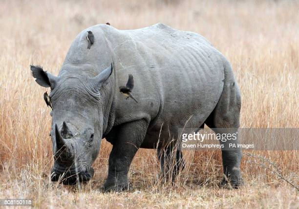 A Rhinoceros in the Pilanesburg National Park near Sun City South Africa