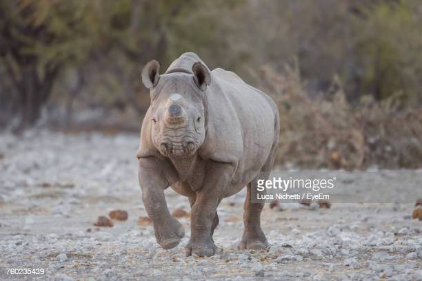 Rhinoceros On Field Against Plants In Forest