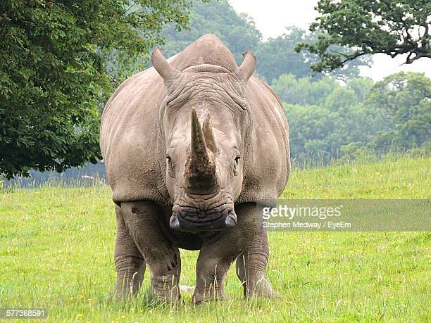 Rhinoceros On Grassy Field